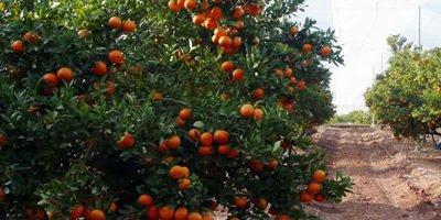 Farm Orangen Online