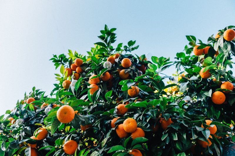 Where do tangerines come from?