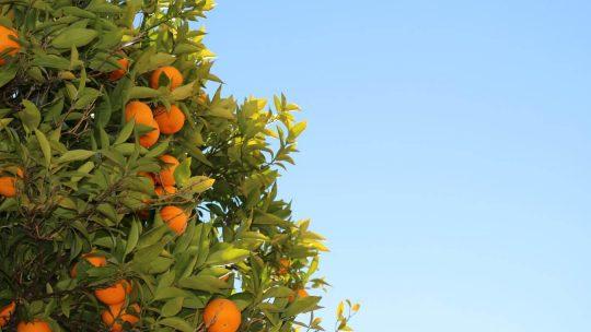 Wann ist denn Orangensaison?