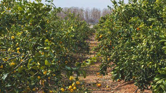 Wie viele Sorten der Orangen gibt es?