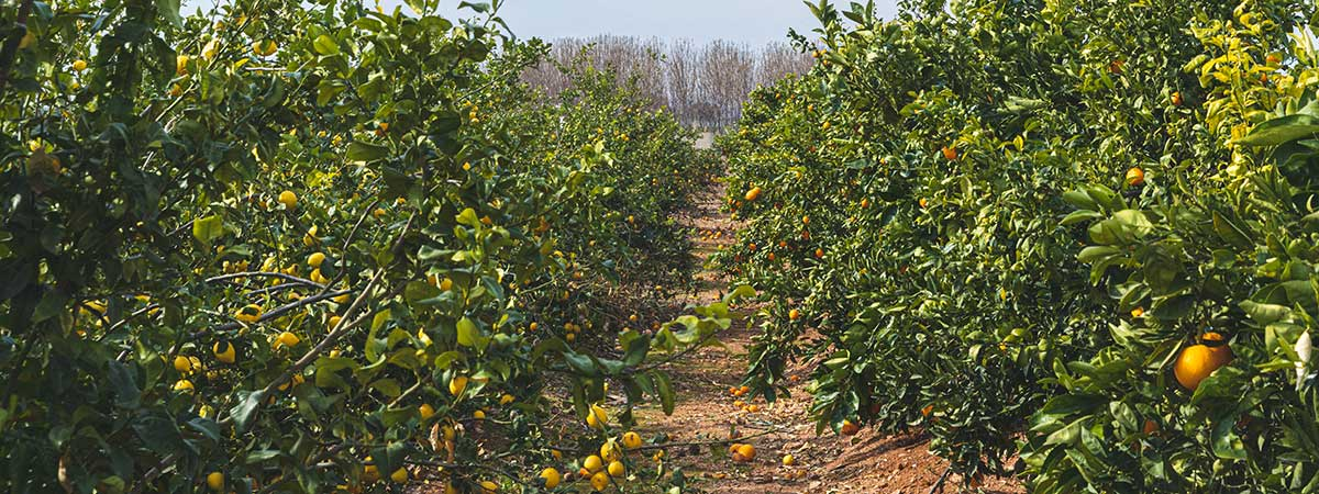 Fields of different types of orange