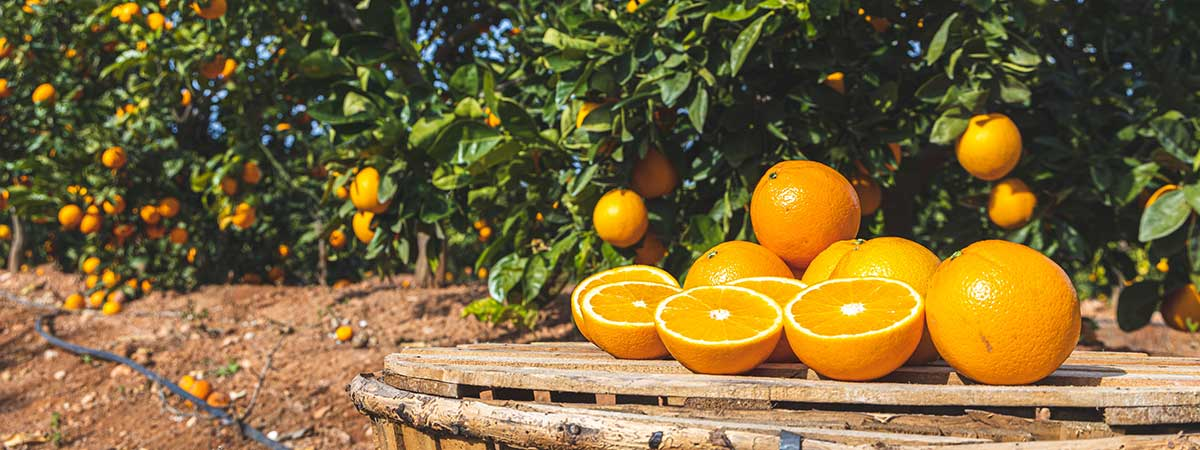 Types of oranges - Navelina oranges