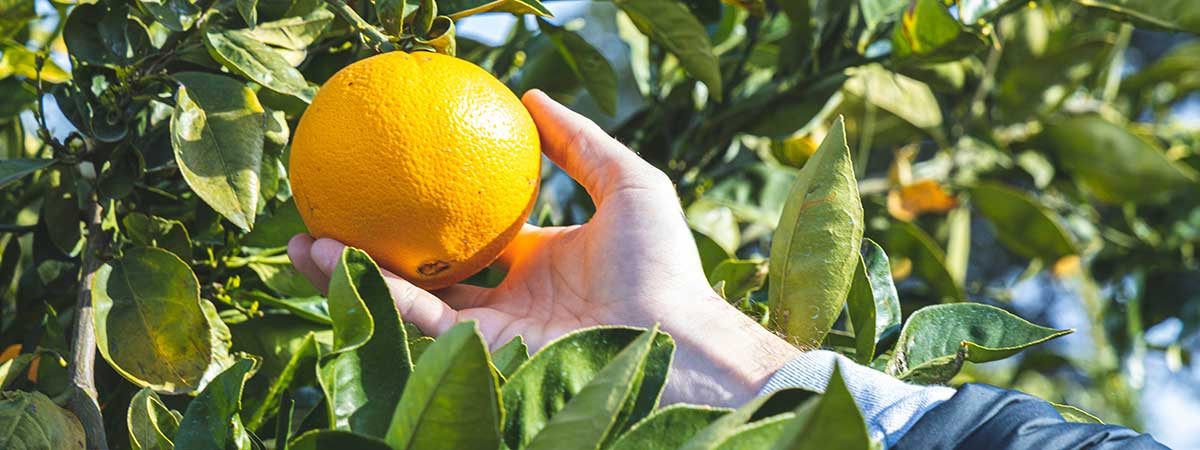 The best oranges for constipation rich in fiber