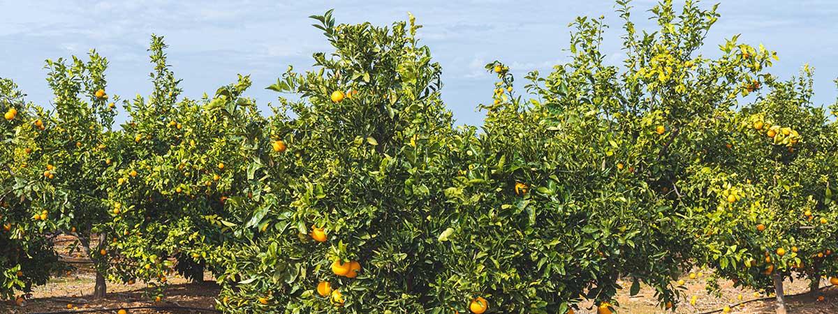 Seasonal harvest of blood oranges