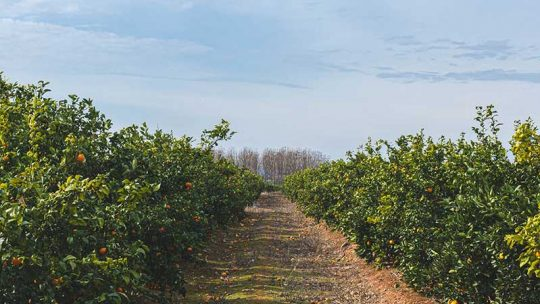 Wann werden Orangen geerntet und Orangenbäume gepflanzt?